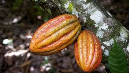 oxfam cacao chocolade