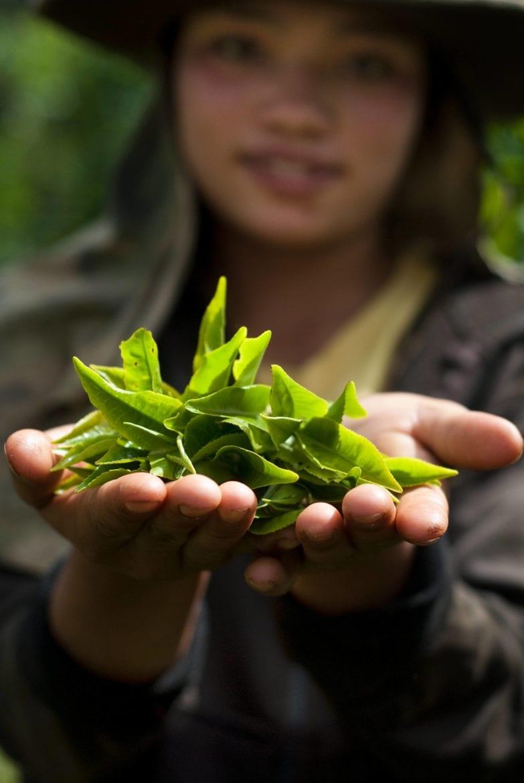 De wedergeboorte van de Laotiaanse thee Oxfam artikel
