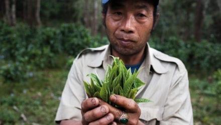 Interesse voor thee uit Laos Oxfam artikel